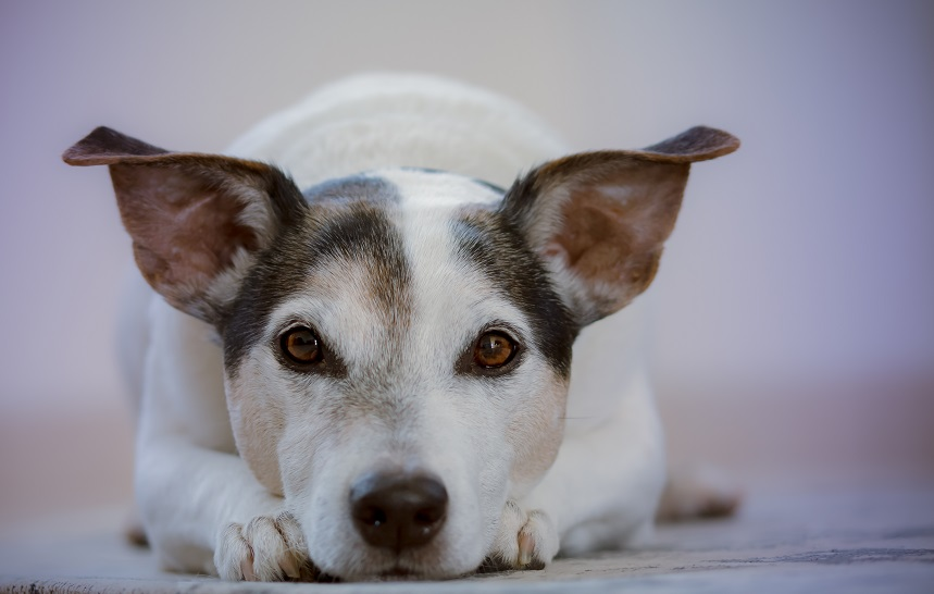 dog-expressing-sadness-comunnication